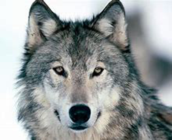 Gray Wolf Delisted from Endangered Species